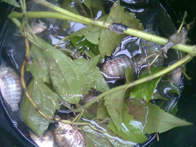 Ikan Nila dalam Wadah Ember