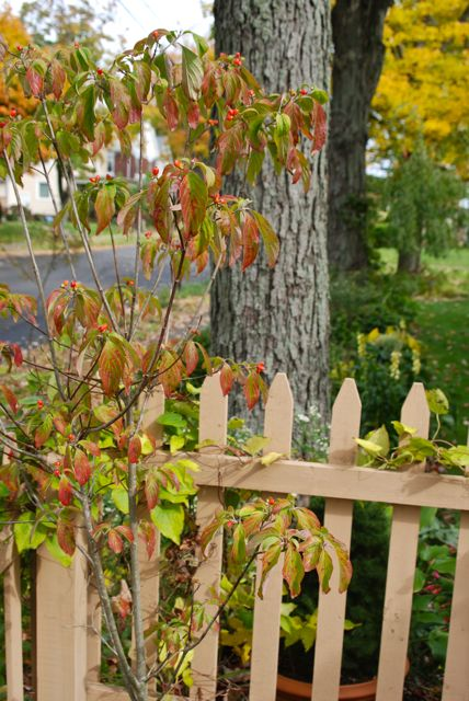Our small dogwood tree (Cornus florida) at the corner of the fence looking toward the Cherry Corner and the brilliant yellow maple in the Front Woodland (another curb strip planting).