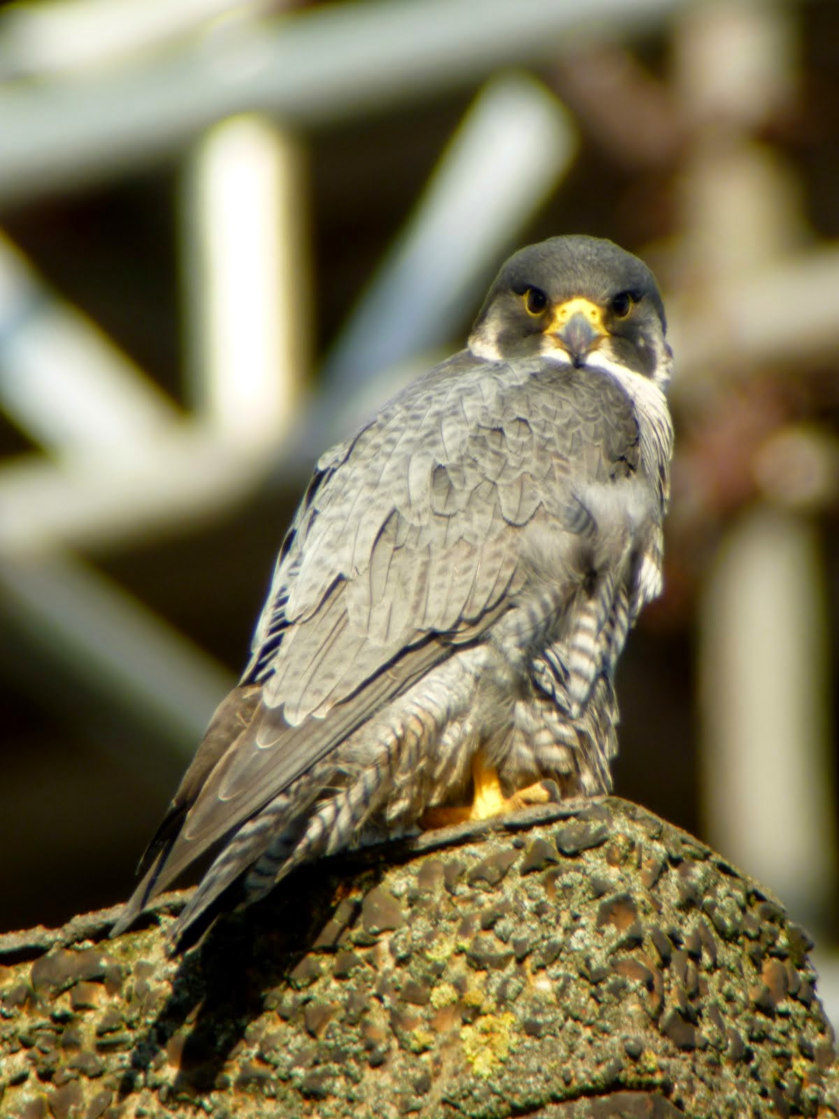 London Peregrines