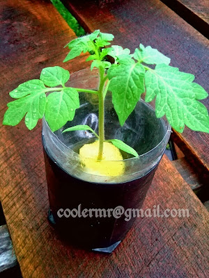 tomat, hidroponik