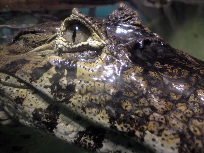 An alligator staring at me! Um Jacaré me encarando! Qual é!?
