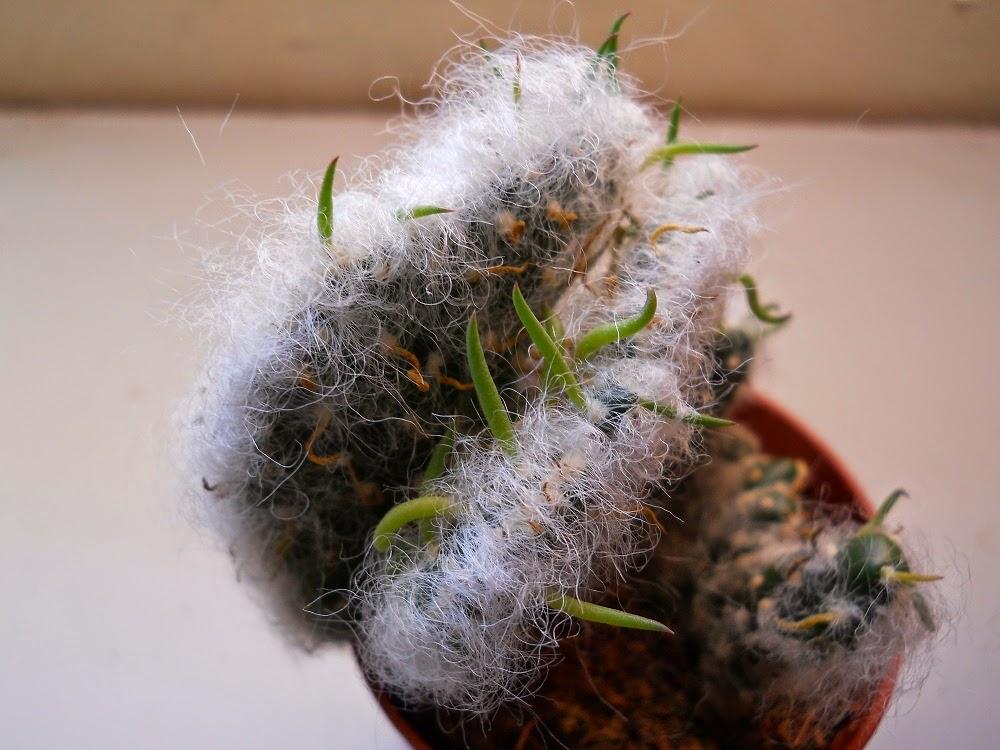 cactus del algodón