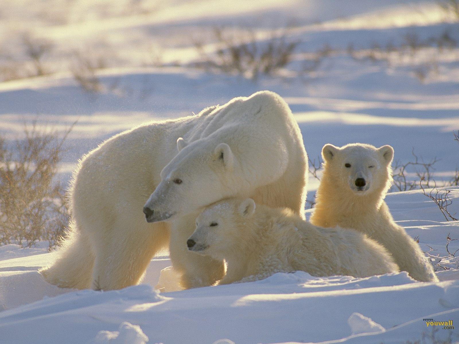 X Five Polar Bear Polar Bear Wallpapers ...