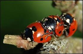 Lady Bugs pictures