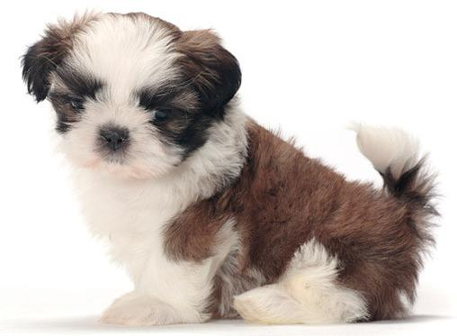 Shih Tzu Dogs Breed Pets Cute And Docile