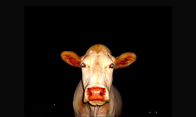 cow-night-flash-portrait