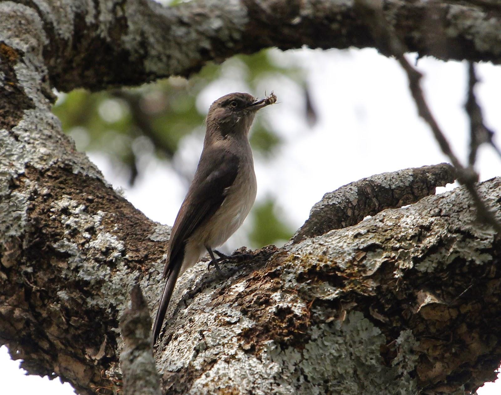 Abyssinian slaty flycatcher (Melaenornis chocolatinus)
