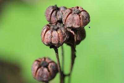 [Ericaceae] - Chimaphila umbellata - Prince's Pine