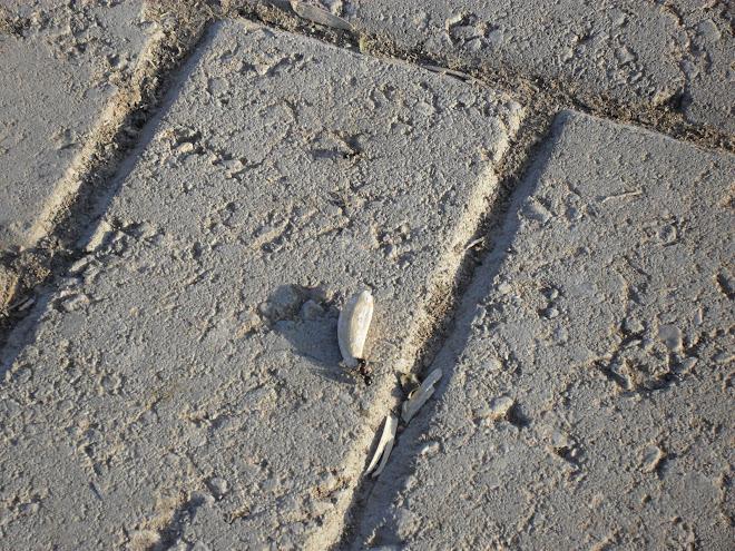 Çilekeş karınca