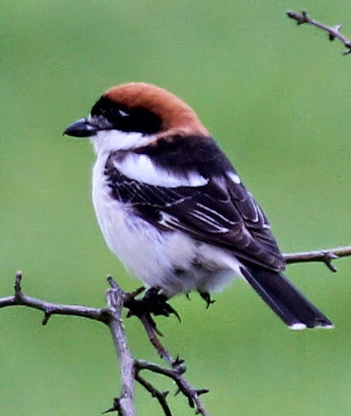 Woodchat shrike found by Pete Woodruff May 2014