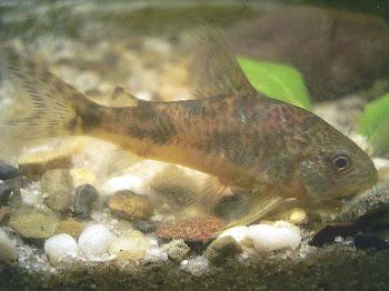 Benekli çöpçü balığı hakkında bilgi