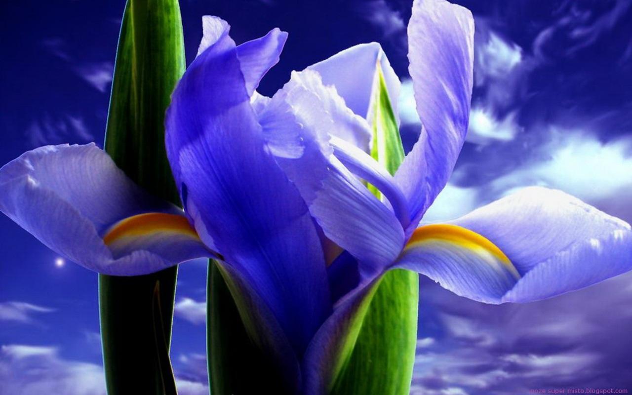 Poze Floarea de Iris - Imagini Iris