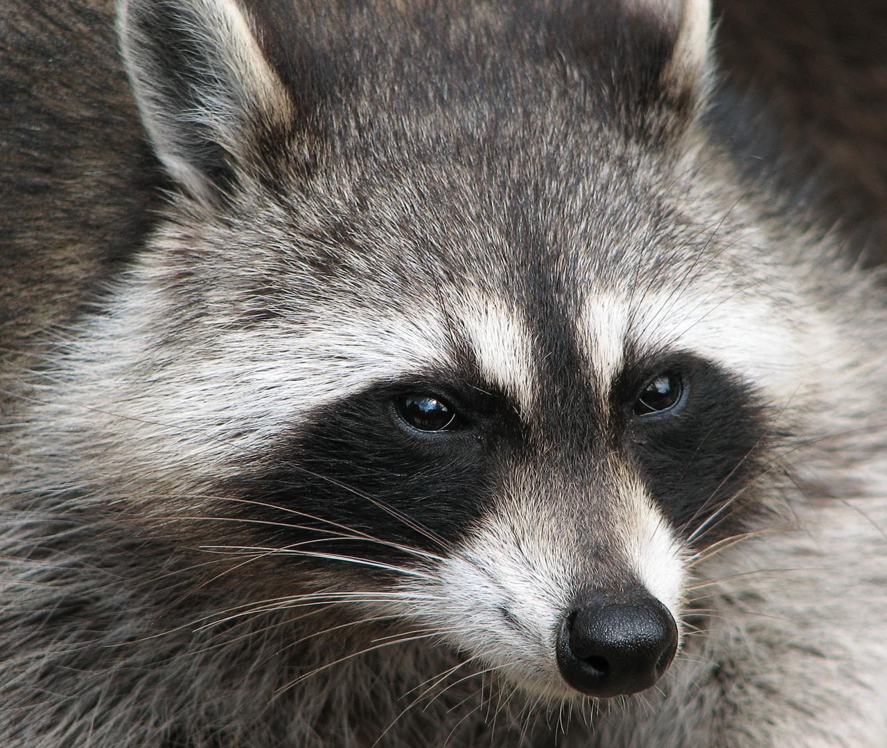 Raccoon, Intelligent Thief | Animal Photo Raccoon Face