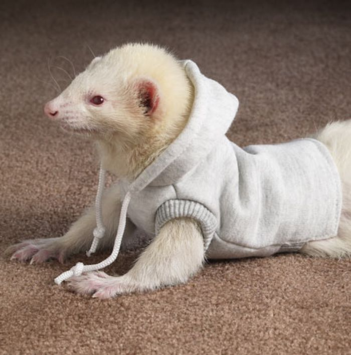 Most Funny Ferrets in Sweaters Seen On www.coolpicturegallery.us