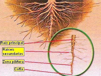 Ilustración de la raiz señalando sus partes