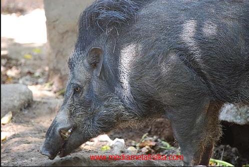 ilustrasi babi ngepet