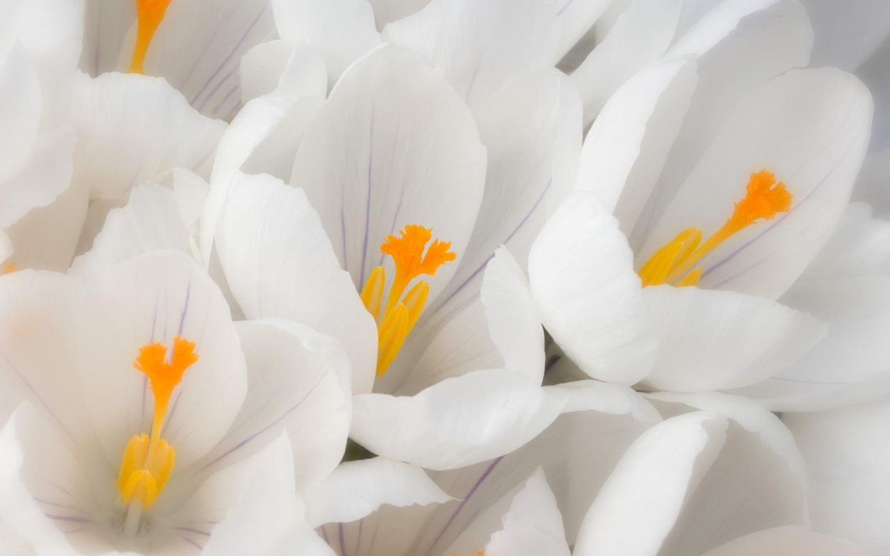 http://4.bp.blogspot.com/-cMpUUVBNS9I/UEn_V7_G_gI/AAAAAAAAAAw/am98hO1T1LM/s1600/Flower+HD+Wallpaper+Free+Download+White+Crocus.jpg