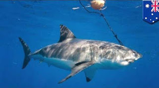 Shark caught by baited hook attached to a drum