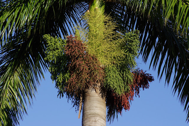 Roystonea regia - royal palm