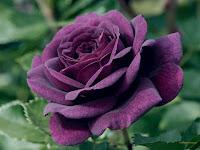 ungu image