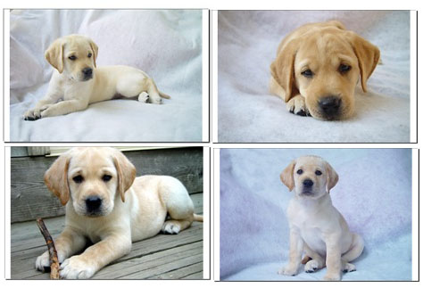 Labrador Puppy Training Basics