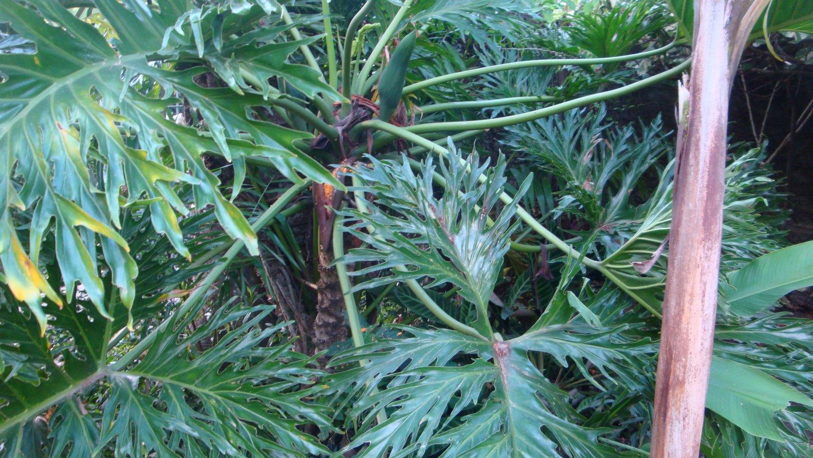 Philodendron selloum, uña de danta brasilera: semillas | natural