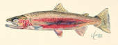 Redband Steelhead Trout