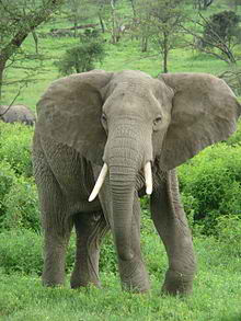 220px Elephant near ndutu 10 of Worlds Strongest Animals Compared to its Body Weight