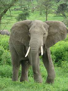 220px Elephant near ndutu %Category Photo