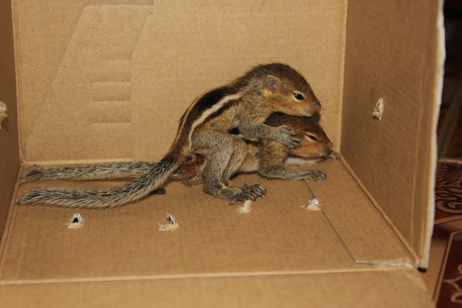 Squirrel baby lost - photo#24