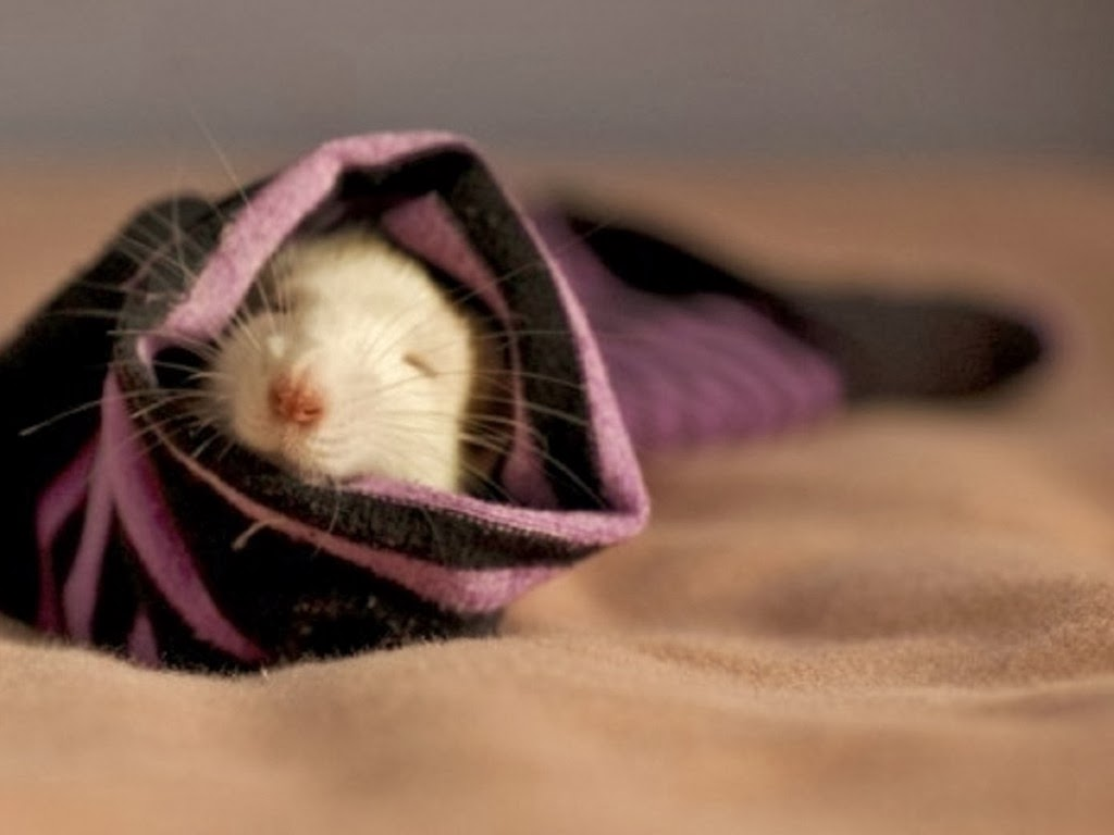 """<img src=""""http://4.bp.blogspot.com/-cNqFrTQCL3A/Utg9NUR27iI/AAAAAAAAIXE/UZbxft5eAJU/s1600/animal-wallpapers-comfy.jpeg"""" alt=""""rodents wallpapers"""" />"""