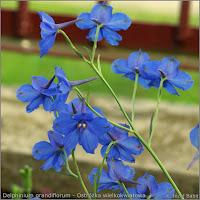Delphinium grandiflorum  flowers - Ostróżka wielkokwiatowa  kwiaty