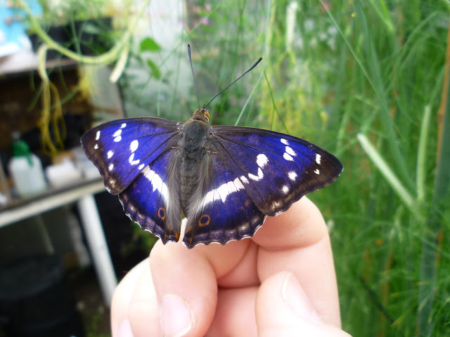 Male Purple Emperor butterfly via lovebirds vintage