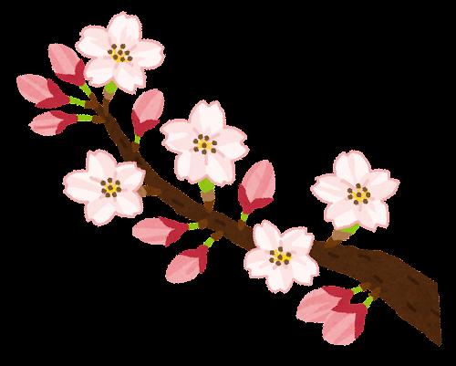 桜の開花のイラスト(ソメイヨシノ)