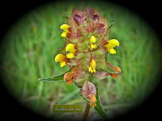 exemplar de crista de galo rhinanthus minor
