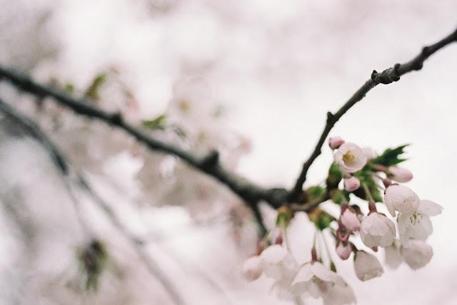 桜の花 cherry blossoms