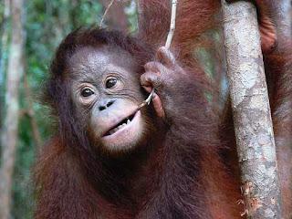 Orang Utan haiwan Malaysia yang hampir pupus