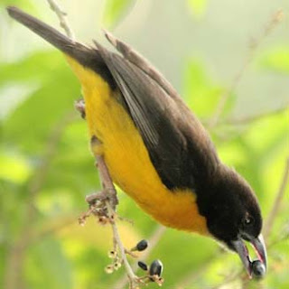 tejedor bicolor Phyllastrephus bicolor