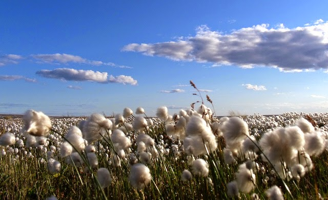 Picture of a field of cotton with blue sky and clouds