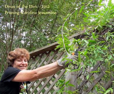 Divasofthedirt,pruning Carolina jessamine