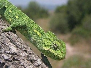 Chamaeleo africanus