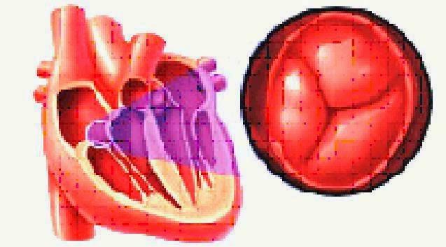 Jantung dan Katup Kanan