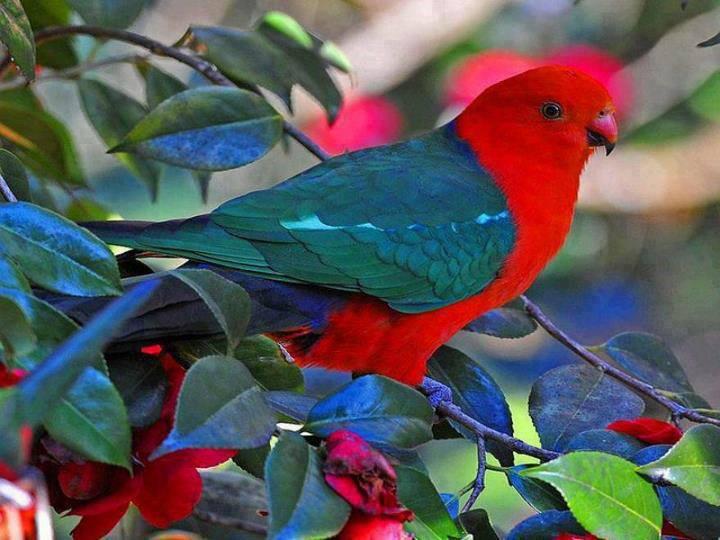 The Australian King Parrot