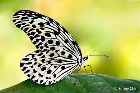 Rare Tree Nymph Butterfly Idea lynceus lynceus Folded FAST FROM USA