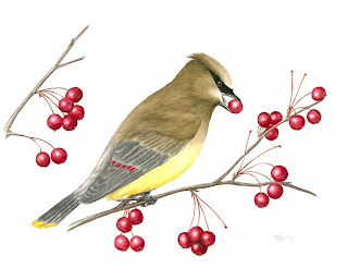 cedar waxwing illustration, bird painting, bird illustration, natural history illustration, nature painting, bird on branch, bird in tree, perching bird, bird art