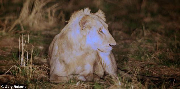 Increíble historia de león que sobrevive gracias a la manada