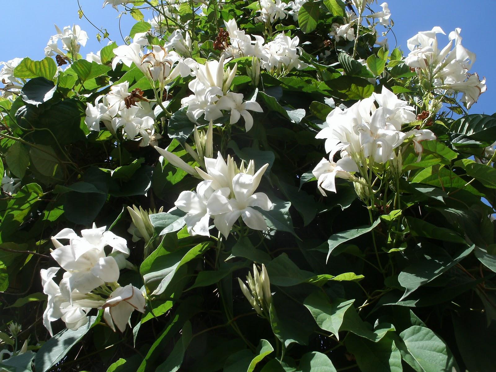 6 graines jasmin du chili dipladenia suaveolens g14 chilean jasmine seeds samen ebay. Black Bedroom Furniture Sets. Home Design Ideas