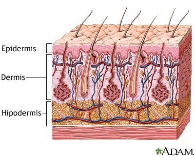 Las capas de la piel | El Cuerpo Humano