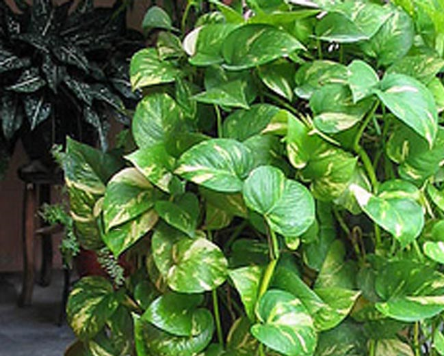 money plant Find great deals on ebay for money tree plant in bonsai plants shop with confidence.