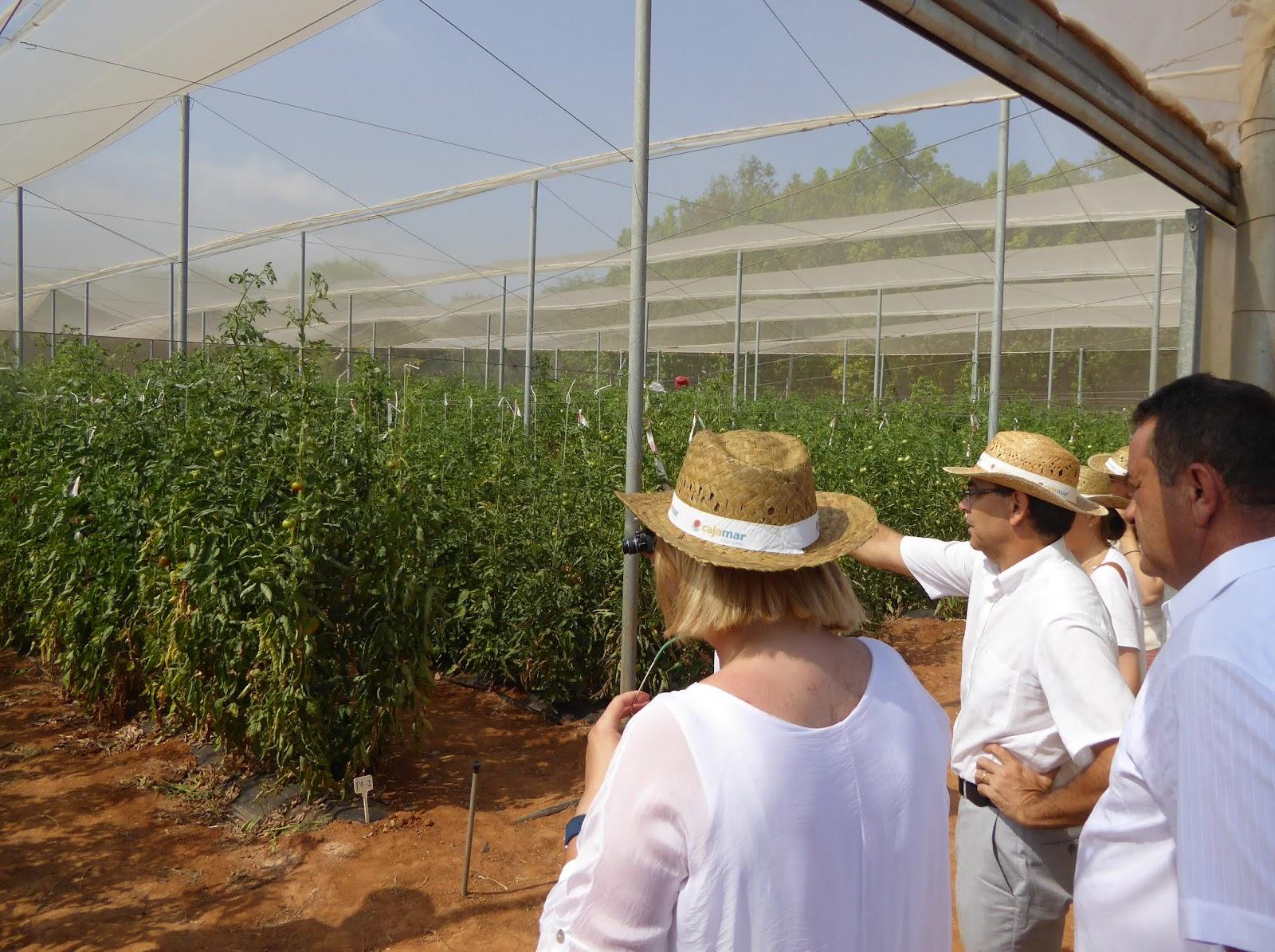 Thm tecnolog as de la horticultura mediterr nea se - Variedades de berenjenas ...